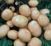 Лечение картофелем при пяточной шпоре